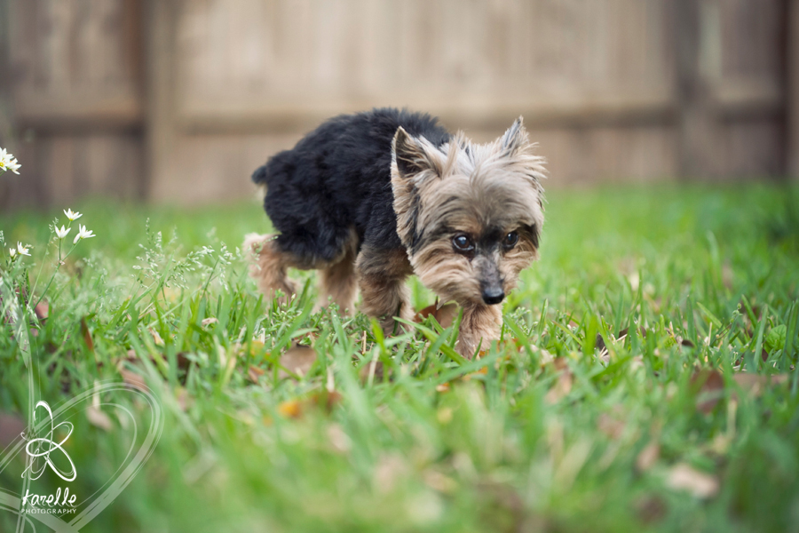 A photograph of Merlin walking outside in the backyard during his photography session