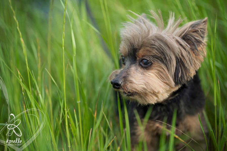 A close up photograph of Merlin during his dog photography session