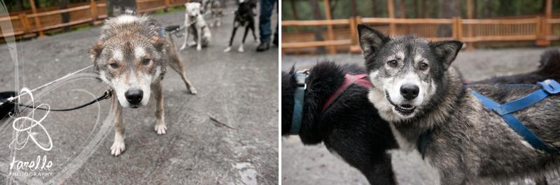 dog sleds in Juneau houston photography