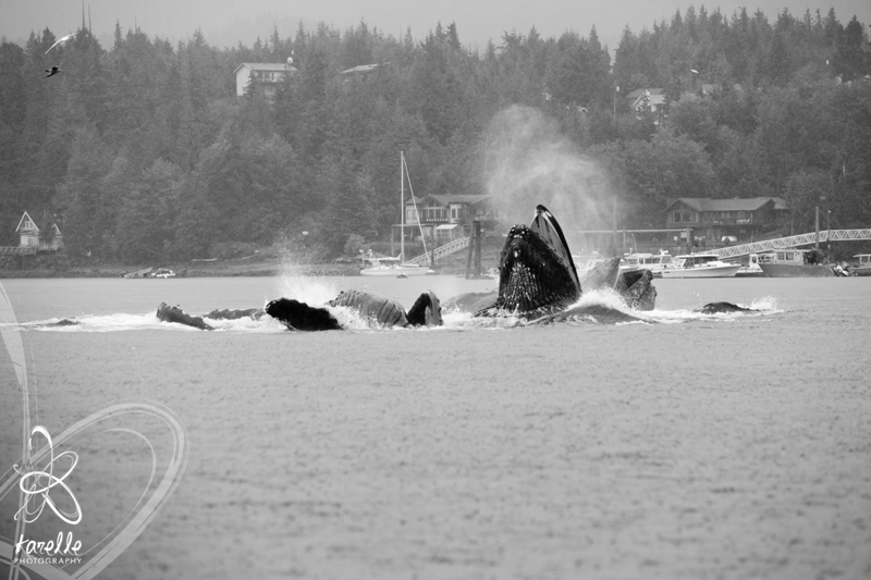 a whale feeding while on an excursion in Ketchikan Alaska